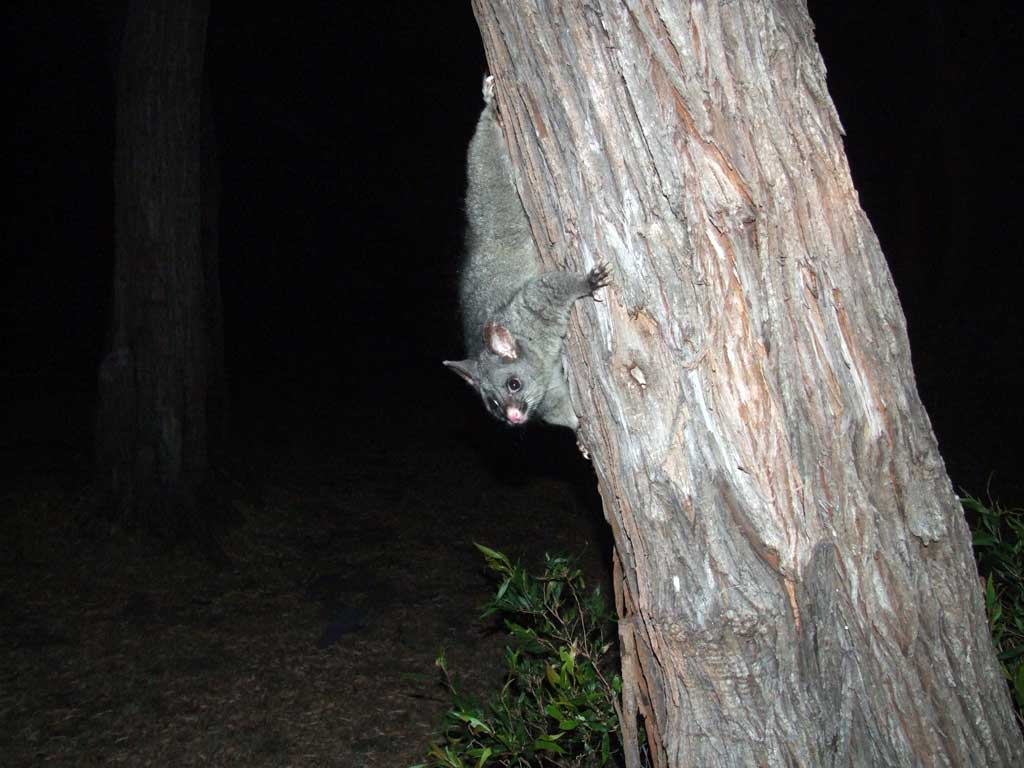 Point Rd campsite possums